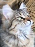Strimmig kattkattungen poserar för stående royaltyfri foto