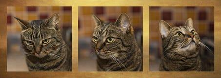 Strimmig katttrio av lynnen royaltyfri bild
