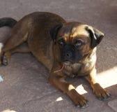 Strimmig mopshund som lägger i skuggan Fotografering för Bildbyråer