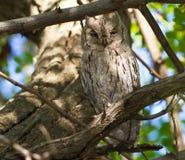 Strimmig scopsuggla (Otusbruceien) Arkivfoto