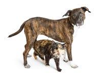 Strimmig stor hund och Tortie Cat Together Arkivbilder