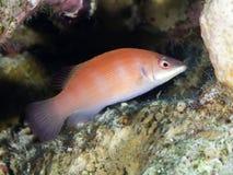 Strimmig wrasse för korallfisk Arkivfoto