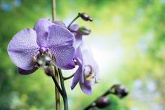 Strimmiga orkidéblommor härlig blommaorchid orkidér lilor Härligt purpurfärgat orkidéblommaträd med solnedgångsignal färgrikt Royaltyfri Bild