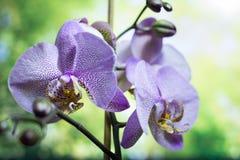 Strimmiga orkidéblommor härlig blommaorchid orkidér lilor Härligt purpurfärgat orkidéblommaträd med solnedgångsignal färgrikt Fotografering för Bildbyråer