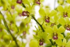Strimmiga orkidéblommor härlig orchid Arkivfoto