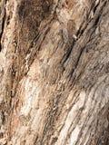 Strimmigt och grovt pappers- skälleukalyptusträdskäll Royaltyfria Foton