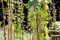 String bean. In the garden Stock Photos