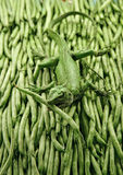 String Bean Gecko Stock Photography