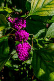 A String of Beautiful Bright Purple Berries Stock Photography