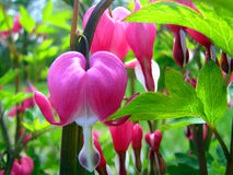 A String of Bleeding Hearts Stock Photography