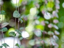 String of hearts. (Ceropegia woodii) Family Asclepiadaceae Common names include chain of Hearts, collar of hearts, , rosary vine, hearts-on-a-string, sweetheart Royalty Free Stock Photo