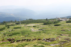 String of Horses High in the Mountains. Shepherd followed by a caravan of horses high in the Rila Mountains, Bulgaria. Ski lift on the background Stock Photography