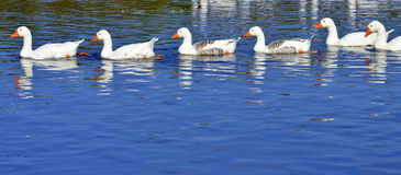Free String Of Geese Stock Photo - 33988680