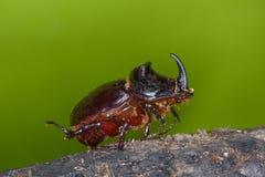 String of rhinos beetle outdoor. String of rhinos beetle in natural habitat Stock Image
