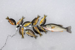 Stringer of fish. A stringer of bass and bluegill lay on a frozen lake in Armstrong County Pennsylvania Royalty Free Stock Image
