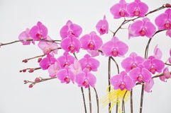 Strings of orchid flowers on white Stock Photos
