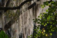 Stringy Tree. At Disney World Orlando Royalty Free Stock Image