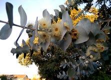 stringybark de la Plata-hoja, árbol del dólar de plata, eucalipto cinerea, Foto de archivo libre de regalías