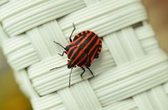 Strip Bug, Bug, Macro, Insect, Red Royalty Free Stock Images