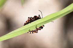 Strip bug - Graphosoma lineatum Royalty Free Stock Photo