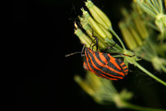 Strip bug (Graphosoma lineatum) Stock Photo