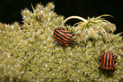 Strip bugs (Graphosoma lineatum) Stock Photography