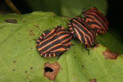 Strip bugs (Graphosoma lineatum) Royalty Free Stock Photo