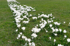 A strip of many white spring crocus flowers in green grass. In Lugano, Switzerland Stock Photos