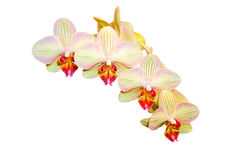 Strip Orchid Stock Image