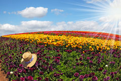 At a strip of purple flowers left straw hat Stock Photo