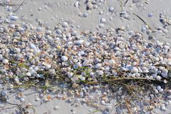Strip of Shells on Sandy Beach. Bunch of shells gathered on wet sand of a sandy beach Royalty Free Stock Photos