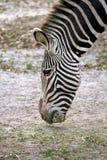 Stripe. Zebra grassing Royalty Free Stock Photos