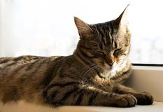 Stripe cat napping and lying on a windowsill.  Stock Image