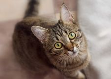 Stripe cat with yellow eyes. View from above.  stock images