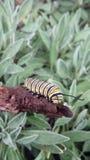 Stripe caterpillar Stock Images