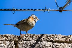 Stripe headed sparrow -Peucaea ruficauda. Urban stripe headed sparrow perched on a wall with barbed wire surrounded by razor wire in Costa Rica stock images