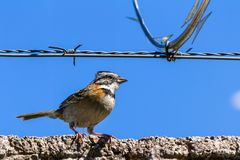 Stripe headed sparrow -Peucaea ruficauda. Urban stripe headed sparrow perched on a wall with barbed wire surrounded by razor wire in Costa Rica royalty free stock photo