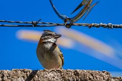 Stripe headed sparrow -Peucaea ruficauda. Urban stripe headed sparrow perched on a wall with barbed wire surrounded by razor wire in Costa Rica stock photography
