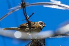 Stripe headed sparrow -Peucaea ruficauda. Urban stripe headed sparrow perched on barbed wire surrounded by razor wire in Costa Rica royalty free stock photos