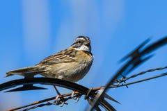 Stripe headed sparrow -Peucaea ruficauda. Urban stripe headed sparrow perched on barbed wire surrounded by razor wire in Costa Rica stock photo