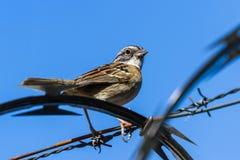 Stripe headed sparrow -Peucaea ruficauda. Urban stripe headed sparrow perched on barbed wire surrounded by razor wire in Costa Rica royalty free stock photography