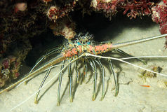 Stripe-leg Spiny Lobster. (Panulirus Femoristriga), Bunaken, Indonesia Stock Images