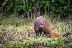 Stripe necked Mongoose front shot Royalty Free Stock Photos