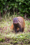 Stripe necked Mongoose portrait Royalty Free Stock Photography