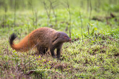 Stripe necked Mongoose. A small mammal sighted in forest. They feed on herbs, shrubs and tubers. They are well known for their natural enemity with snake Royalty Free Stock Photos