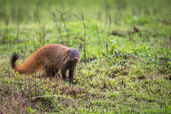 Stripe necked Mongoose. A small mammal sighted in forest. They feed on herbs, shrubs and tubers. They are well known for their natural enemity with snake Stock Image
