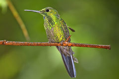 Stripe-tailed hummingbird Stock Image