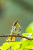 Stripe-throated bulbul bird Royalty Free Stock Photos