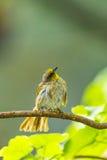 Stripe-throated bulbul bird Royalty Free Stock Photos