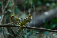 Stripe-throated Bulbul Bird, standing on a branch in nature Stock Photo